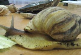 Самый большой сухопутный моллюск